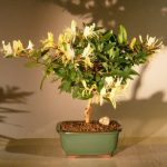 Flowering Japanese Honeysuckle Bonsai Tree (lonicera japonica 'halliana')