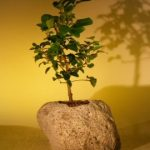 Flowering Ligustrum Bonsai Tree In Lava Rock (ligustrum lucidum)