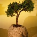 Shimpaku Bonsai Tree In Lava Rock – Large (juniper chinensis)