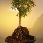 Sweet Acacia Bonsai Tree – Root Over Rock (acacia farnesiana)