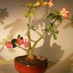 Flowering Desert Rose Bonsai Tree – Large (Adenium Obesum)