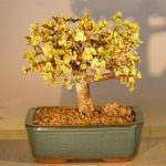 Baby Jade Bonsai Tree – Large Aged and Variegated (portulacaria afra variegata)