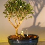 Flowering Mount Fuji Bonsai Tree Water/Land Container – Medium (serissa foetida)