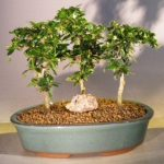 Fukien Tea Bonsai Tree Three Tree Forest Group (ehretia microphylla)