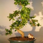 Fukien Tea Flowering Bonsai Tree – Extra Large Curved Trunk Style (ehretia microphylla)