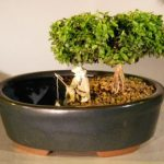 Japanese Kingsville Boxwood Bonsai Tree Land/Water Container – Medium (buxus microphylla compacta)