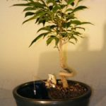 Ficus Bonsai Tree in a Water/Land Container Coiled Trunk Style (ficus 'orientalis')