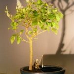 Flowering Ligustrum Bonsai Tree in a Water Pot (ligustrum lucidum)