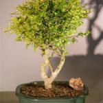 Flowering Tropical Boxwood Bonsai Tree – Large (neea buxifolia)