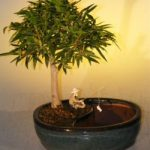 Willow Leaf Ficus Bonsai Tree Water/Land Container – Medium (Ficus Nerifolia/Salisafolia)