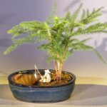 Norfolk Island Pine Bonsai Tree Water/Land Container – Medium (Araucaria Heterophila)