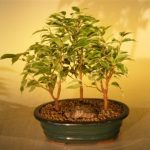 Ficus Bonsai Tree – Variegated 3 Tree Forest Group (ficus benjamina)