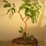 Flowering Mimosa Bonsai Tree – Medium (leucaena glauca)