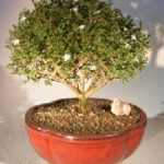 Chinese Flowering White Serissa Bonsai Tree of a Thousand Stars (serissa japonica)