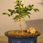 Flowering Lavender Star Flower Bonsai Tree – Small (Grewia Occidentalis)
