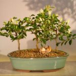 Flowering Lavender Star Flower Bonsai 3 Tree Forest Group (Grewia Occidentalis)