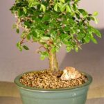 Chinese Elm Bonsai Tree – Aged Straight Trunk Style (ulmus parvifolia)