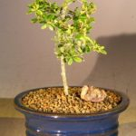 Flowering Tropical Boxwood Bonsai Tree – Small (neea buxifolia)