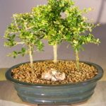 Flowering Tropical Boxwood Bonsai Tree 3 Tree Forest Group (neea buxifolia)