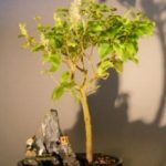 Flowering Ligustrum Bonsai Tree – Stone Landscape Scene (ligustrum lucidum)