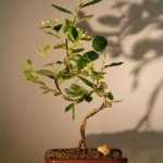 Flowering Cotoneaster Bonsai Tree Curved Trunk Style (Cotoneaster 'Lucidus')