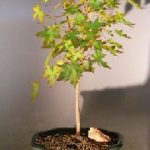 Japanese Green Maple Bonsai Tree – Large (acer palmatum)