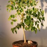 Flowering Dwarf Everbearing Mulberry Bonsai Tree (Morus Nigra)