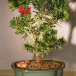 Flowering Bottlebrush – Little John – Large (Callistemon Citrinus Little John)