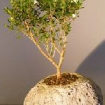 Chinese Flowering White Serissa in Lava Rock Pot Tree of a Thousand Stars (Serissa Japonica)