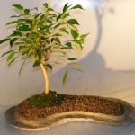 Ficus Oriental Bonsai Tree On Rock Slab (ficus 'orientalis')