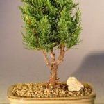 Shimpaku Bonsai Tree – Small (shimpaku itoigawa)