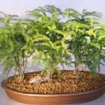 Norfolk Island Pine Bonsai Tree Seven (7) Tree Forest Group (Araucaria Heterophila)