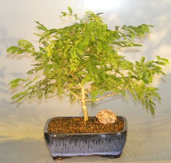 Flowering Princess Earrings Bonsai Tree Medium Unique Bonsai Trees Bonsai Trees At Discounted Prices
