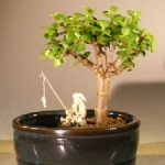 Baby Jade Bonsai Tree Water/Land Container – Small (Portulacaria Afra)