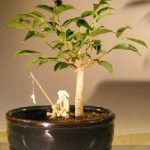 Ficus Oriental Bonsai Tree Water/Land Container – Small (ficus 'orientalis')