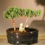 Juniper Bonsai Tree Water/Land Container – Small (juniper procumbens nana)