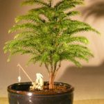 Norfolk Island Pine Bonsai Tree Land/Water Container – Small (Araucaria Heterophila)