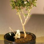 Flowering Mount Fuji Bonsai Tree Water/Land Container – Small (serissa foetida)