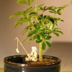 Hawaiian Umbrella Bonsai Tree Water/Land Container – Small (arboricola schefflera 'luseanne')