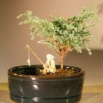 Blue Moss Cypress Bonsai Tree Water/Land Container – Small (Chamecyparis glauca minima)