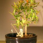 Flowering Dwarf Pomegranate Bonsai Tree Water/Land Container – Small (Punica Granatum)