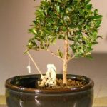 Flowering Brush Cherry Bonsai Tree Water/Land Container – Small (eugenia myrtifolia)