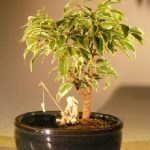 Ficus Bonsai Tree Variegated Water/Land Container – Small (ficus benjamina)