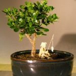 Flowering Dwarf Plum Bonsai Tree Water/Land Container – Small (carissa macrocarpa)