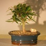 Willow Leaf Ficus Bonsai Tree – Small (Ficus Nerifolia/Salisafolia)