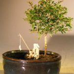 Flowering Tropical Boxwood Bonsai Tree Land/Water Container – Small (neea buxifolia)