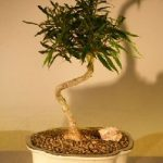 Willow Leaf Ficus Bonsai Tree – Medium Coiled Trunk Style (ficus nerifolia/salicafolia)