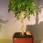 Hawaiian Umbrella Bonsai Tree Braided Twist – Variegated (Arboricola Schefflera 'Luseanne')