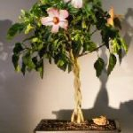 Flowering Tropical Pink Hibiscus Braided Trunk (rosa sinensis)