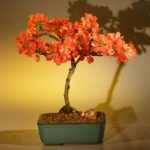 Japanese Flowering Quince Bonsai Tree – Super Red (chaenomeles japonica 'moned')